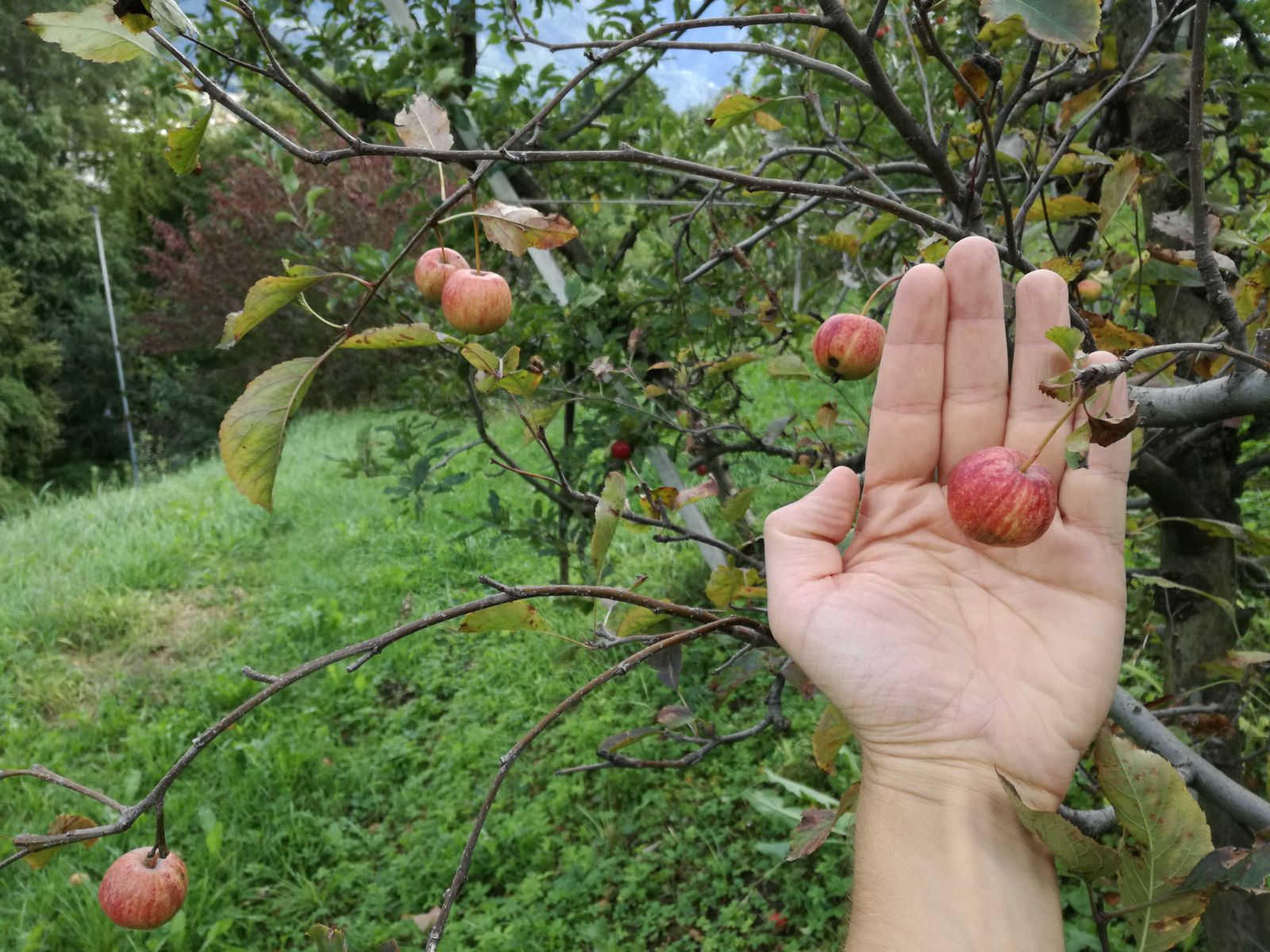 Video: «Gli studi sugli scopazzi del melo»