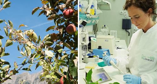 """Video: «Ricerca scientifica sugli """"scopazzi del melo"""" al Centro di Sperimentazione Laimburg»"""