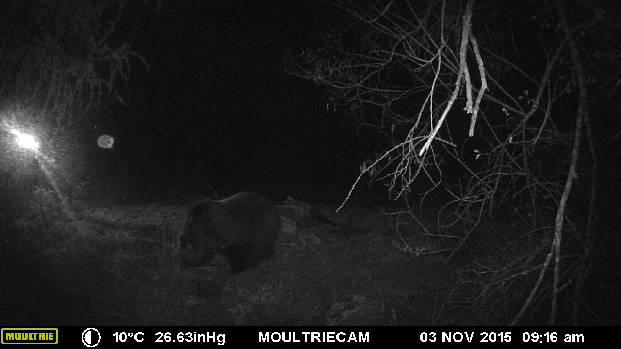 Video: «Orso bruno in Alto Adige - Ottobre 2015»