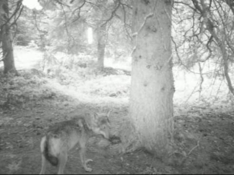 Video: «Wolf»