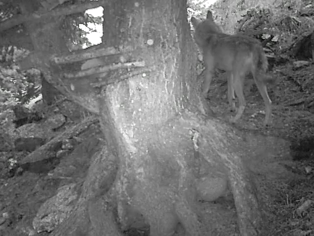 Video: «Fotofalle Wolf - August 2014»