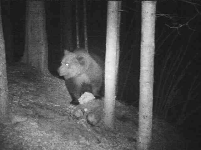Video: «Orso bruno in Alto Adige - Aprile 2016»