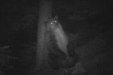 Video: «Fototrappola orso - Aprile 2013»