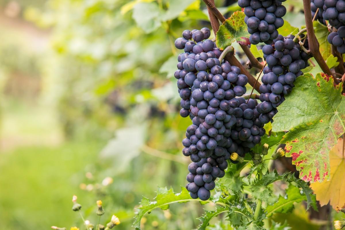 Video: «Das  Projekt Rebecka, die Auswirkungen des Klimawandels im Weinbau»
