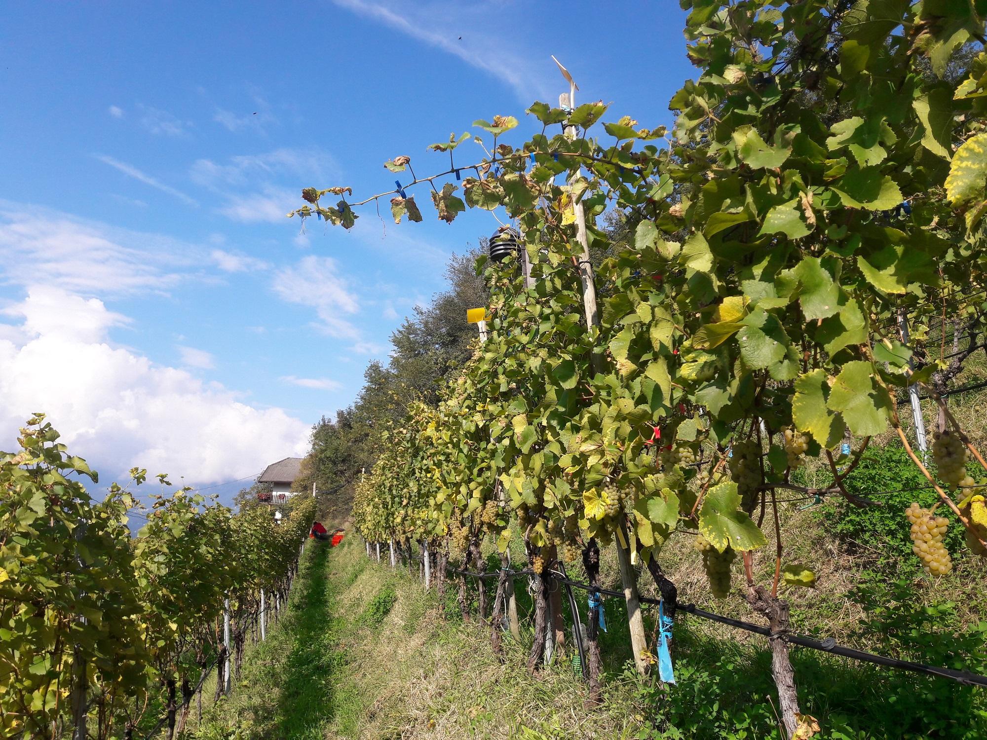 Video: «Il progetto di ricerca sul Pinot Bianco»